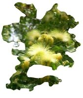 Albizia Lebbeck, Regenbaum, Mimosa, 10 Samen, 10 seeds
