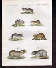 Lemming-Hamster-Vole-Mole Rat 1790s Schmuzer Hand Colored Copper Engraving