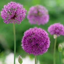 3 ALLIUM PURPLE SENSATION BULBS CORM AUTUMN GROWING GARDENING SPRING FLOWERING