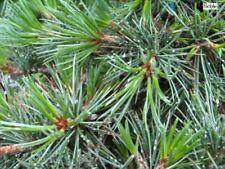Antigraffio mirtillo Rubus Caesius pianta 5-10cm BLU bromo mirtillo Acker mirtillo CAVALLETTO Mirtillo