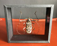 Harlequin beetle ACROCINUS LONGIMANUS Framed DEYROLLE Taxidermy Entomology