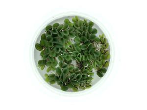 Asian Watermoss, Salvinia cucullata, Live Aquarium/Aquatic/Floating Plant