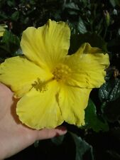 YELLOW TROPICAL HIBISCUS LIVE PLANT 5 INCHES TALL STARTER SIZE PLANT