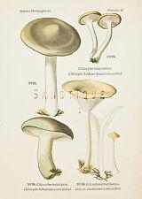 """Dufour's Atlas of Mushrooms - """"CLITOCYBE SUAVEOLENS"""" - Chromolithograph - 1891"""