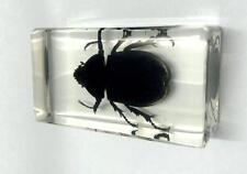 COLLECTION REAL BUGS RHINO RHINOCEROS BEETLE INSECT IN RESIN