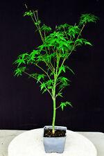 "Katsura  maple  bonsai tree 4"" pot"