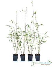 4 x Fargesia jiuzhaigou 30/40, roter Bambus, ideal für Hecken, keine Ausläufer