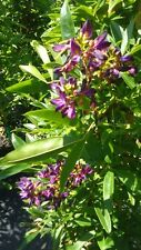 Wisteria Purple Flower Plants 2 Gal. Tree Plant Flowers Grow Trees Now