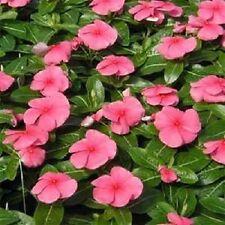 40+ Rosea Vinca Periwinkle / Annual Flower Seeds