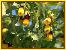 Graines de fleurs Annuelles, CERINTHE MAJOR JAUNE