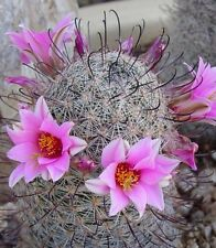 Mammillaria Grahimii 100 seeds