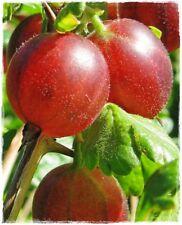 Pianta di UVA SPINA ROSSA 'Hinnonmaki Red' - vaso 14 cm