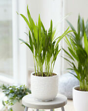 1 x Butterfly Palm Dypsis Lutescens House Plant Indoor Live Tree In Pot