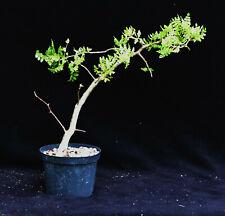 Bursera ficifolia C, Bonsai, Pachycaul