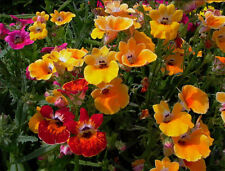 Nemesia strumosa carnival Flower Seeds from Ukraine
