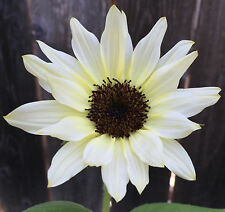 MoonShadow Sunflower | 20 Seeds | Almost Pure White