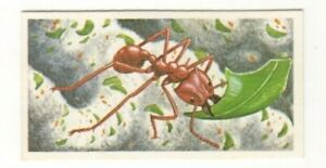 Brooke Bond Incredible Creatures #07 1985. Leaf Cutting Ant