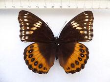 Hypolimnas Pandarus hembra, Ceram-isl., moluccas, indonesia n325a