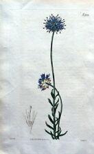 JASIONE PERENNIS Blue Light France Curtis Antique Botanical  Flower Print 1820