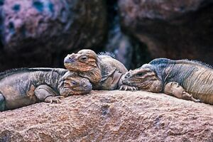Rhino Iguana - PHOTO PRINT A3 SIZE COMES WITH FRAME - BROTHERS GRIM