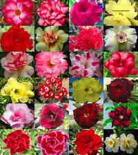 """Adenium Obesum Desert Rose """"Mixed"""" 1000 Seeds 24 Types!"""