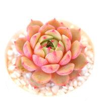 Succulent Live Rare Plant - Echeveria 'Ben Badis' 4cm - Home Garden Lovely Plant
