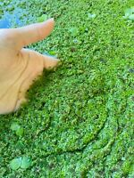 Azolla & Duckweed Aquatic Moss Fern KOI Pond Aquarium Organic Food 1 Cup