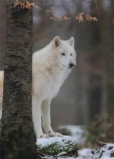 Lentikular - Wackelkarte: heulender Polarwolf - howling white wolf