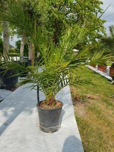 Phoenix Canariensis Palme Gesamthöhe ca. 130 - 150 cm Freiland Spanien von LUKOS