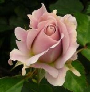 Rose Silver Cloud- 5 dormant cuttings- rare and unusual