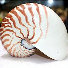 13cm Rare Natural Pearly Screw Nautilus Conch Shells Coral Collectible Sea Snail