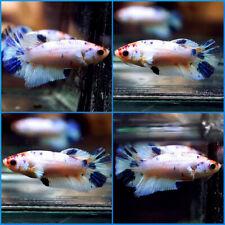 New listing Live Betta Fish Fancy Dragon Candy Blue Marble Halfmoon Plakat Hmpk Female C462