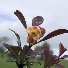Berberis thunbergii f. atropurpurea FREE DELIVERY ON 5 OR MORE OF ANY PLANTS