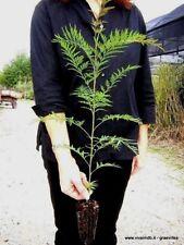 GREVILLEA ROBUSTA Alveolo grevillea arborea Australian silver oak pianta plant