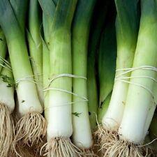 Vegetable Leek Blue Solaise Appx 600 seeds
