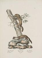 J. Brodtmann (*1787), Naturgeschichte, Marder, 1824, Lithographie