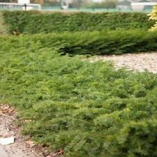 100 x Taxus baccata 'Repandens' 20-30 cm (Bodendeckereibe) 1,99 € pro St.