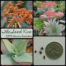 10+ CORAL ALOE SEEDS (Aloe striata) Africa Red Flowering Succulent Medicinal