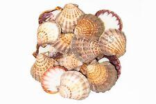 "Natural Lion Paw Scallop Nautical Dish Beach Craft Sea Shell 5""- 6""(16 Pcs)"