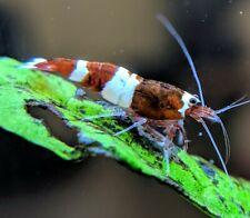 5+1 Red King Kong Panda Shrimp Mix_Taiwan Bee Shrimp_Live Aquarium Shrimp
