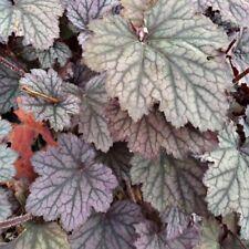 Coral Bells- Heuchera- Americana- 50 Seeds- BOGO 50% off SALE
