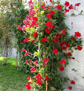 100 seeds Mandevilla Sanderi Seeds Red Flowers Bonsai Perennial Plants