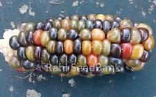 Corn Glass Gem Rajjo - A Beautiful Orange-Green Colored Glass Gem Corn Variety!!