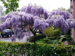 Japanese WISTERIA FLORIBUNDA rare vine flowering purple wood tree seed 10 seeds