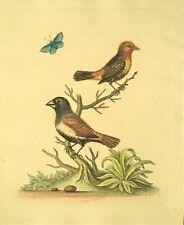 ANTIQUE BIRD PRINT: GEORGE EDWARDS: ORIGINAL HAND COLORED: LONDON, DATED 1761