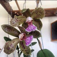 "Cattleya schofieldiana Fragrant NEW IMPORT 4"" (17)"
