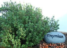 Thymian 100 Samen - Thymus vulgaris - Kuttelkraut - Gartenthymian 001390
