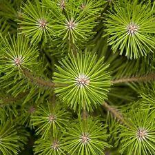 Japanese Red Pine Tree Seeds (Pinus densiflora) 25+Seeds