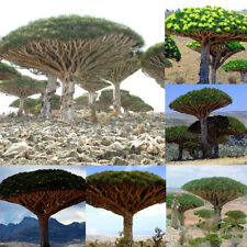 10 pcs Canary Island Dragon Blood Tree seeds bonsai seed Giant Tree Fresh Grand