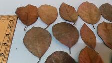 Dried Jackfruit Leaves 100 pcs nano size 4 inches to less Bio film Betta Shrimp